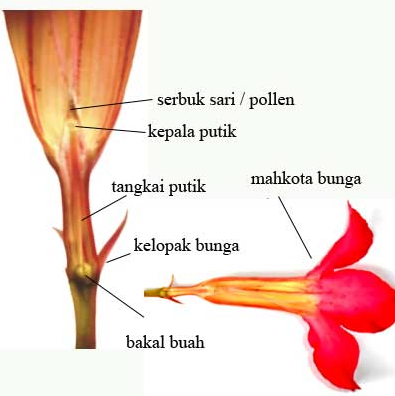 Proses Penyerbukan Bunga Kamboja