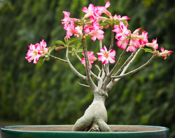 Cara Menanam Bunga Adenium Dari Batang