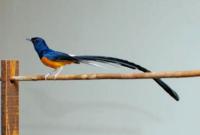 Cara Merawat Burung Murai Untuk Pemula