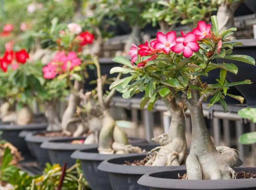 Cara Merawat Bunga Adenium