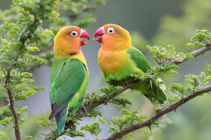 Kriteria Lovebird Berkualitas