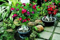 Jenis Bunga Adenium