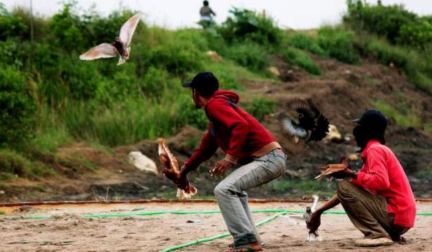 Latihan Burung Merpati Secara Berkala