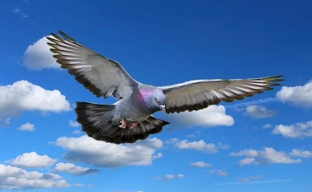 Uji Coba Burung Merpati