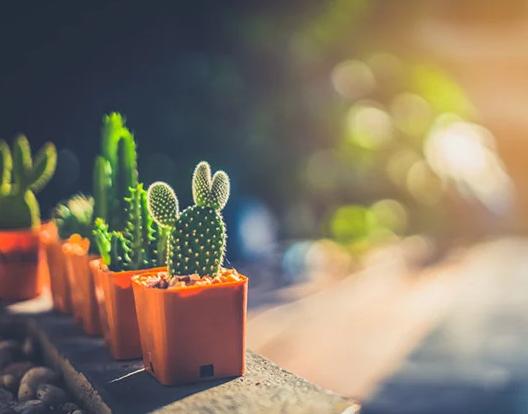 Kaktus Mendapatkan Asupan Cahaya