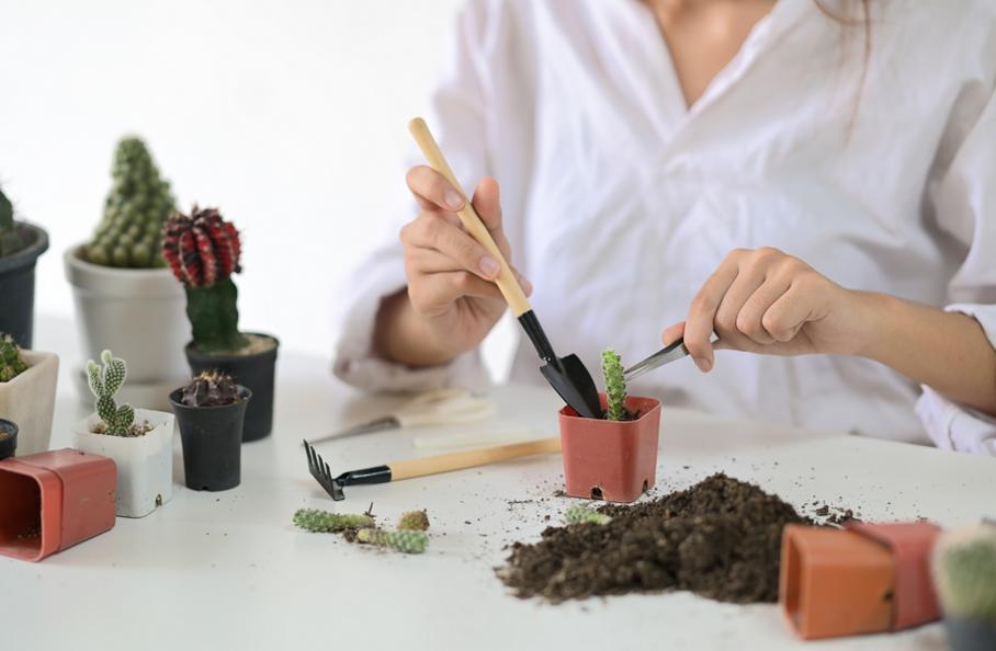 Memberikan Pupuk Kaktus Mini